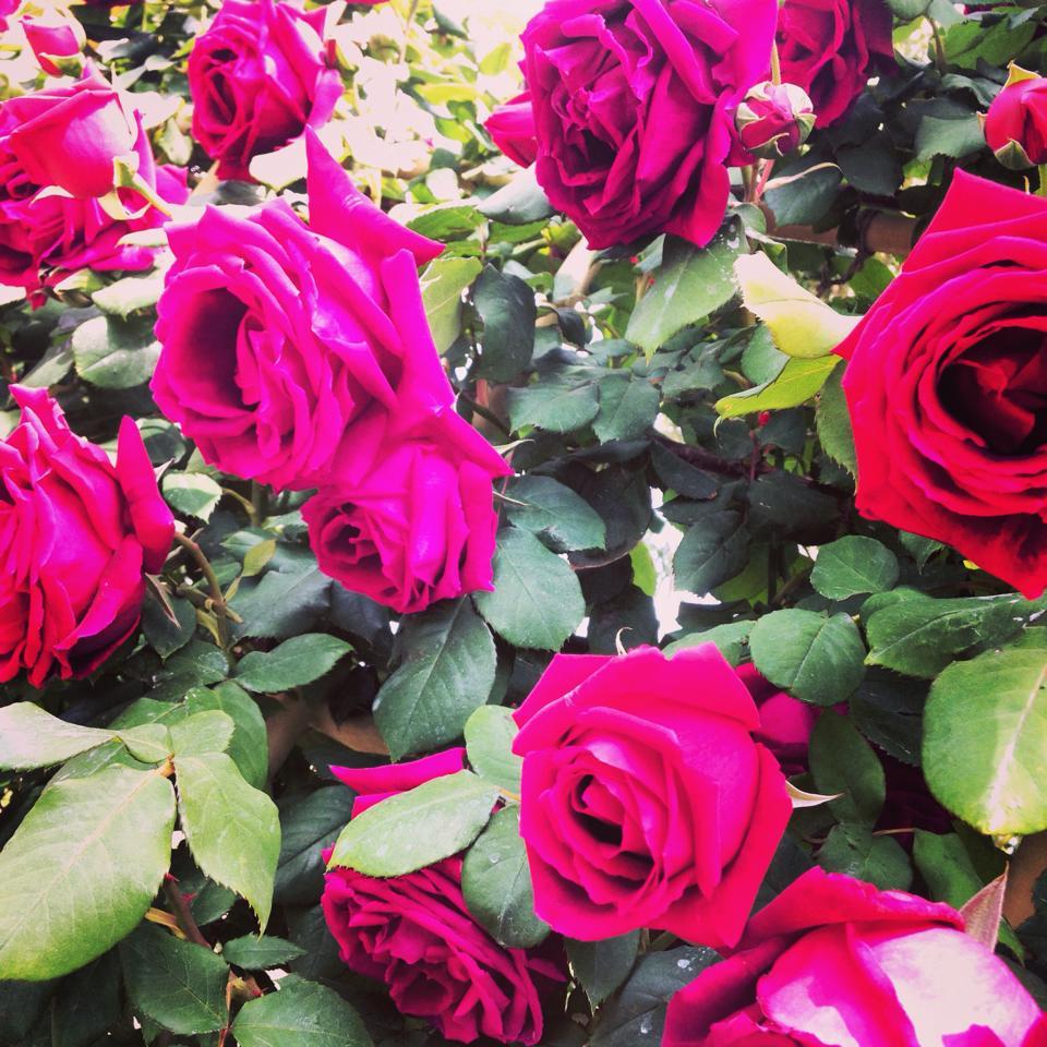 フリー素材 画像 バラ園に咲く情熱の赤いバラ 無料 株式会社